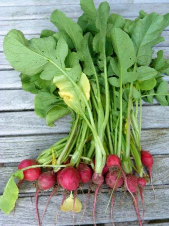 Radieschen im Gemüsekorb der Woche